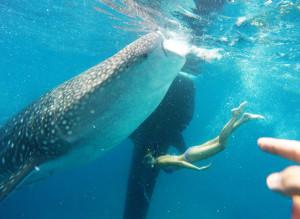 плаваю с китовыми акулами